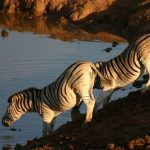 At a distance the vertical stripes of zebra merges to an apparent grey