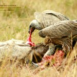 Vulture is a scavenging bird of prey