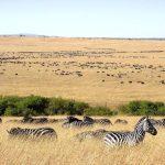 Zebras have excellent hearing