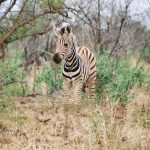 The three species of zebras are the plains zebras, the mountain zebras and the Grevy's zebra