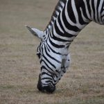 Habitat destruction and hunting has severely impacted zebra population