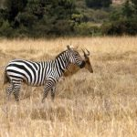 Grant's zebra is a type of plains zebra