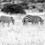 A baby zebra is called foal
