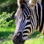 Grevy's zebra is endangered