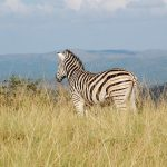 Zebra is closely related to horses, donkeys, and asses