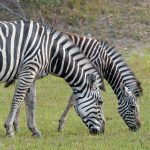 In captivity, crosses between other equines and zebras have produced several distinct hybrids