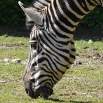 Habitat destruction has severely impacted zebra population