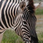 Grevy's zebra is an inhabitant of Ethiopia and northern Kenya