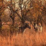 Zebras sleep standing up