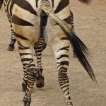 Predators and bitings insets are confused by the stripes of a moving zebra