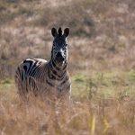 Equus quagga selousi is the scientific name of Selous' zebra