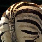 A zebra brays or barks