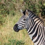 Quagga Project breed zebras that are similar to the quagga that became extinct in the late 19th century