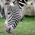 Habitat destruction and hunting for skins has severely impacted zebra population