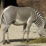 Grevy's zebra is an inhabitant of the grasslands of northern Kenya and Ethiopia