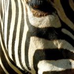 A zebra barks or brays
