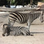 Stripes are used to cool the zebra