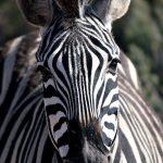 Equus quagga crawshayi is the scientific name of Crawshay's zebra