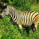 Zebra is closely related to asses, donkeys and horses