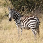 The three species of zebras are the Grevy's zebra, the mountain zebras and the plains