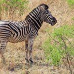 Grevy's zebras appear rather mule-like