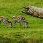 In captivity, mountain zebras have been crossed with plain zebras