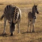 Crosses between zebras and other equines are called zorse, zebroid, zeedonk, and zony