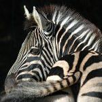 Zebra populations are diverse