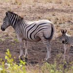 "The ultimate origin of the name ""zebra"" is uncertain"