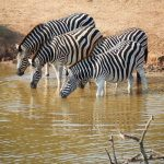 The camouflage hypotheses of the evolution of zebra's stripes has been contested because the predators of a zebra are more likely to have heard or smelled a zebra, especially at night