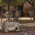 Zebras will stand with ears erect and head held high when surveying an area for predators