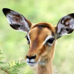 African impala rooibok.