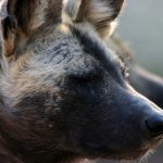 African wild dog in profile