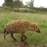 Black spotted hyena.