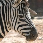 Female zebras mature earlier than males