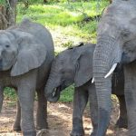 The male elephant only remains with the herd until the age of 12-13 after which it joins a group of other males