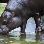 Drinking hippo.