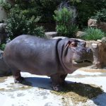 Hippopotamus is one of the extant species in the family Hippopotamidae.