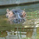 Common hippopotamus is called hippo.