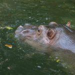 The common hippopotamus is called hippo.