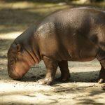 Hippopotamus's calf.