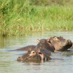 Hippopotamuses have unique skin.