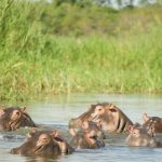 Hippos in the river.