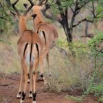 Impala is found in eastern Africa.
