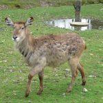 The scientific name for impala is Aepyceros Melampus.