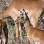 Young impala.
