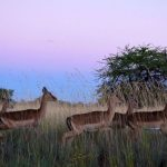 An impala is an African antelope weighing 40–60 kg.