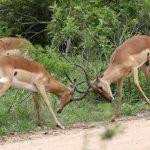 Impala fighting.