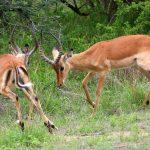 Impalas fighting.