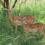Impala on safari.